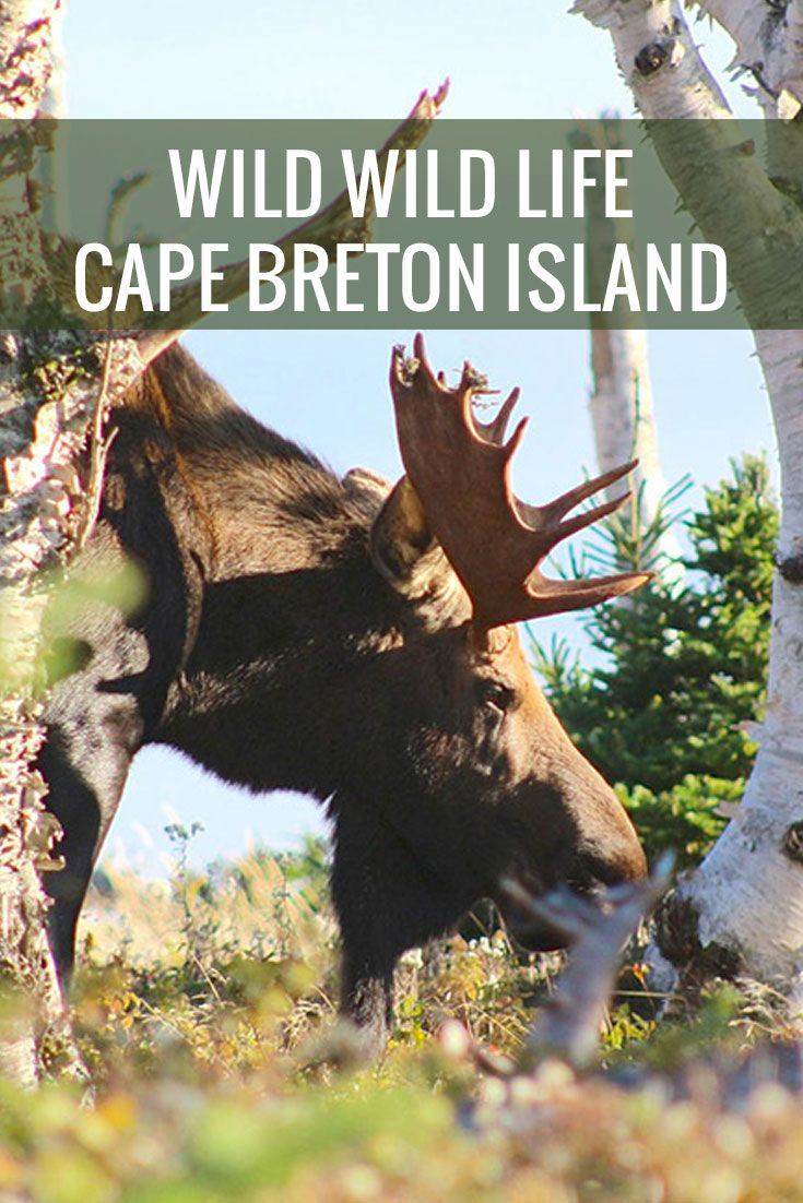 Have you always wanted to explore the famous Cabot Trail. One of the best hikes is the Skyline trail where you are most likely to spot a moose along the way.