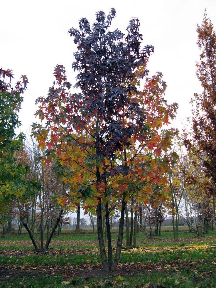 Liquidambar styraciflua | Ebben multistem trees | Pinterest