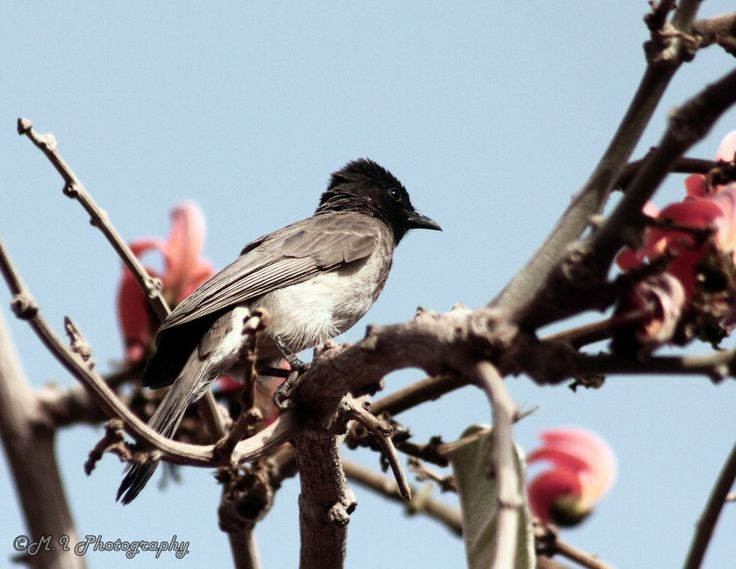 Photograph Black eyed Bulbul by Mohamed Ismael on 500px