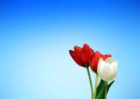 Tulipán, Piros, Fehér, Tavaszi