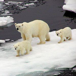 polar bears: Call Oil, Shells Oil, Oil Giant