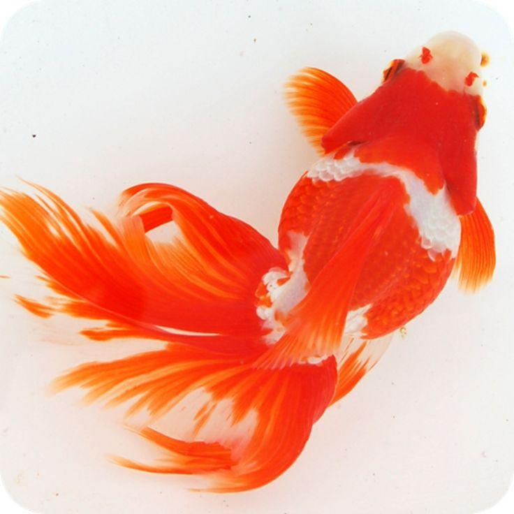 金魚 | iPad, iPhone] 日本金魚図鑑 -Japanese goldfish-: 金魚博士に ...