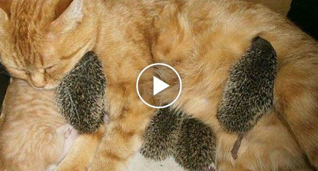 Porcos-Espinhos Bebés Sobrevivem Depois De Serem Adotados Por Mãe Gata http://www.funco.biz/porcos-espinhos-bebes-sobrevivem-adotados-por-mae-gata/