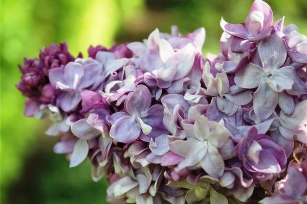 Flieder, Edelflieder Président Poincaré: Syringa vulgaris Président Poincaré: Französischer Flieder mit auffallend buschigen Rispen und lavendelfarbigen Blüten