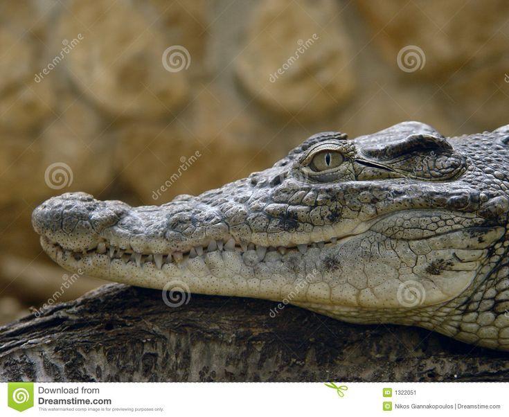 Profil De Crocodile Image stock - Image: 1322051