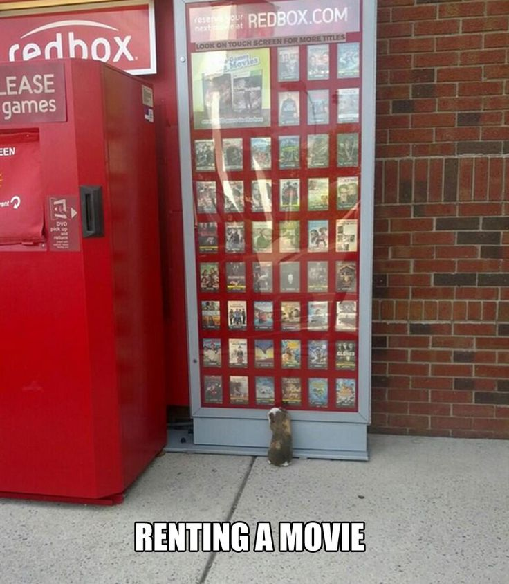 funny-guinea-pig-rent-movie-street