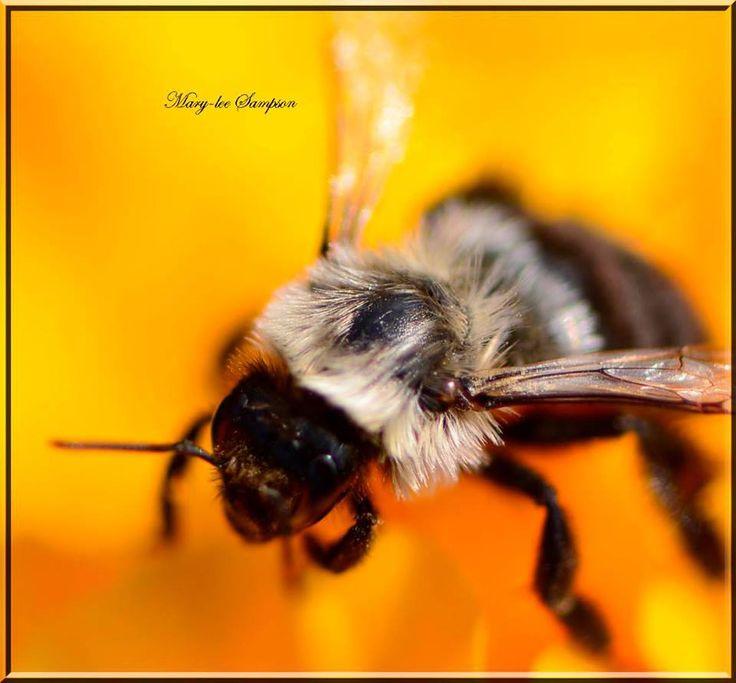 Bee Macro lens 100mm Nikon