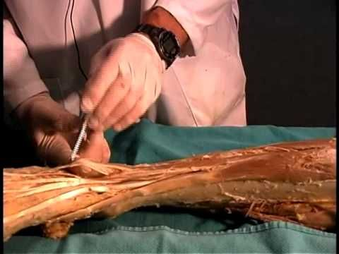 Anatomical dissection # 26: Leg & foot. - YouTube