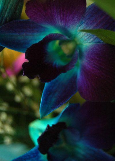 Blue OrchidBlue Orchids Tattoo, Beautiful Flower, Rare Orchids, Blue Orchids Plants, Flower Gardens, Wedding Flower, Silk Flower, Deep Blue, Blue Orchids Mi