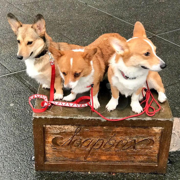 """So…Seattle! I had this bet with Tay and Mango the Corgi, I tookTeam Canada VS Team USA in Woman's hockey (USA won!), well good thing I love Seattle Corgis- cuz now I """"Hafta"""" visit Seattle & lunch with Mango! Sometime in March! Are you guys game?..."""