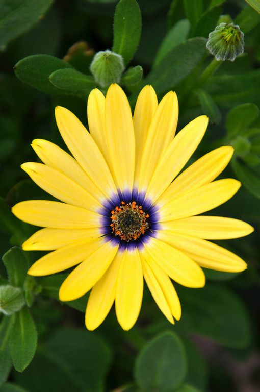 African Daisy, Canmore, Alberta - PhotosByTricia