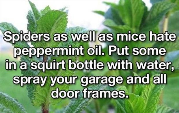 10 Best Life Hacks From Aunt Nancy: Spider spray using peppermint oil