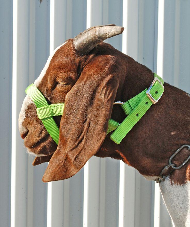 girl pissing on goat