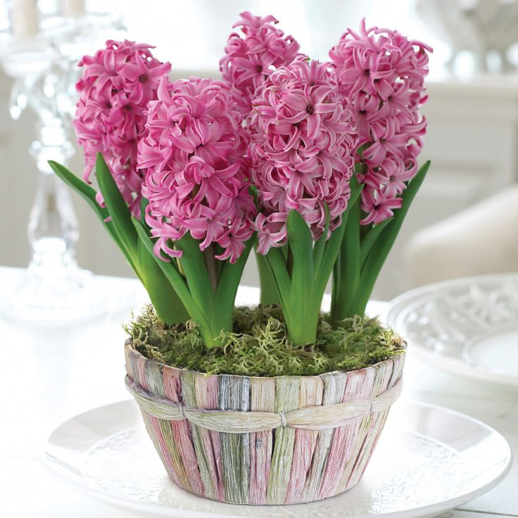 Number 1 best Xmas seller at Thompson and Morgan Hyacinth 'Scented Pink Pearl Basket'. From the Christmas garden and home board