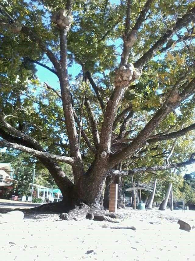Tree at Etty Bay