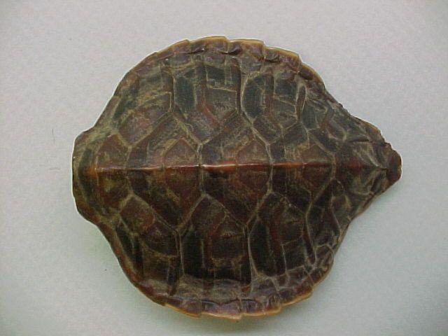 Hawksbill Sea Turtle Shell Sea Turtle Shell