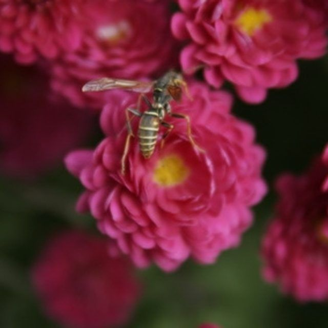 Bees can be repelled by strong smells in the garden.