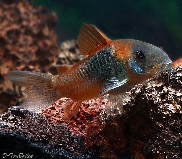 Orange Spot Corydoras Catfish