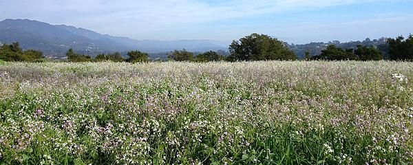 A tranquil landscape with a vast field of wildflowers and the Santa Ynez Mountains in the background.