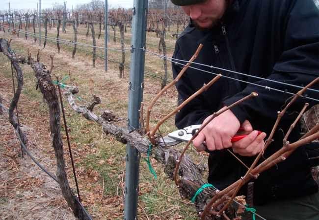Формирования кустов винограда
