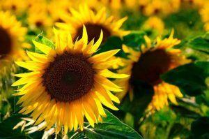 Slunečnicový olej také dokáže pečovat o naši pokožku