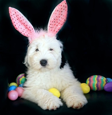 Shagshadow Old English Sheepdogs : Sheep Dogs, Asian Girlfriends, Sheepdog Books, Old English Sheepdog, Shagshadow, Easter Bunnies, Easter Puppies, Asian Girls, Animal