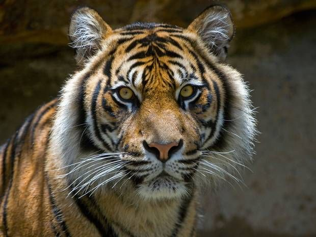 This Powerful And Majestic Tiger Vertically Soars In This Video ...
