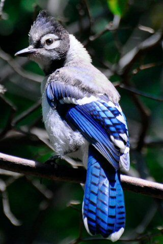 preview large picture of blue-jay