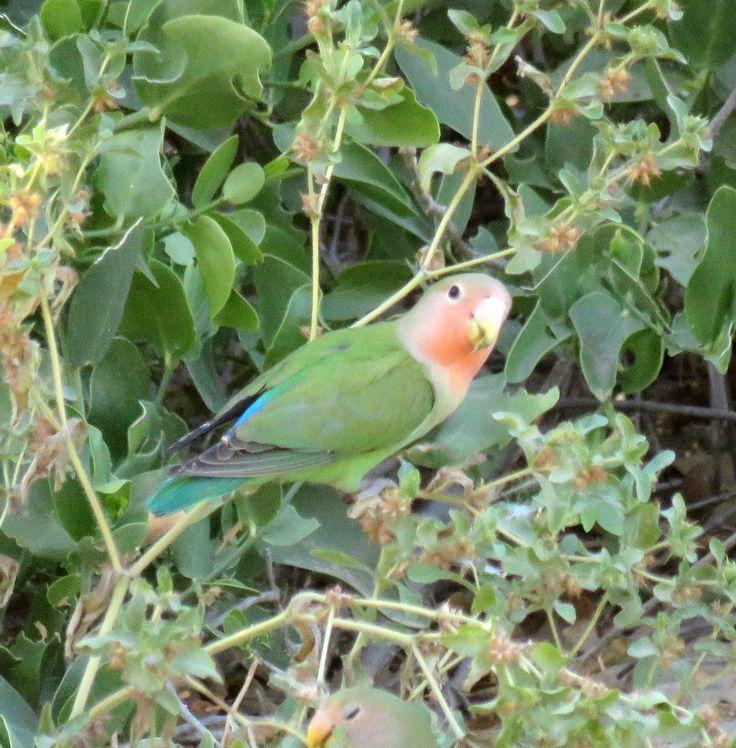 Rosy-cheecked lovebirds, Namibia