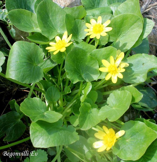 """Begonvilli Ev: Bahçemdeki Kır Çiçekleri """"Ranunculus F icaria"""""""