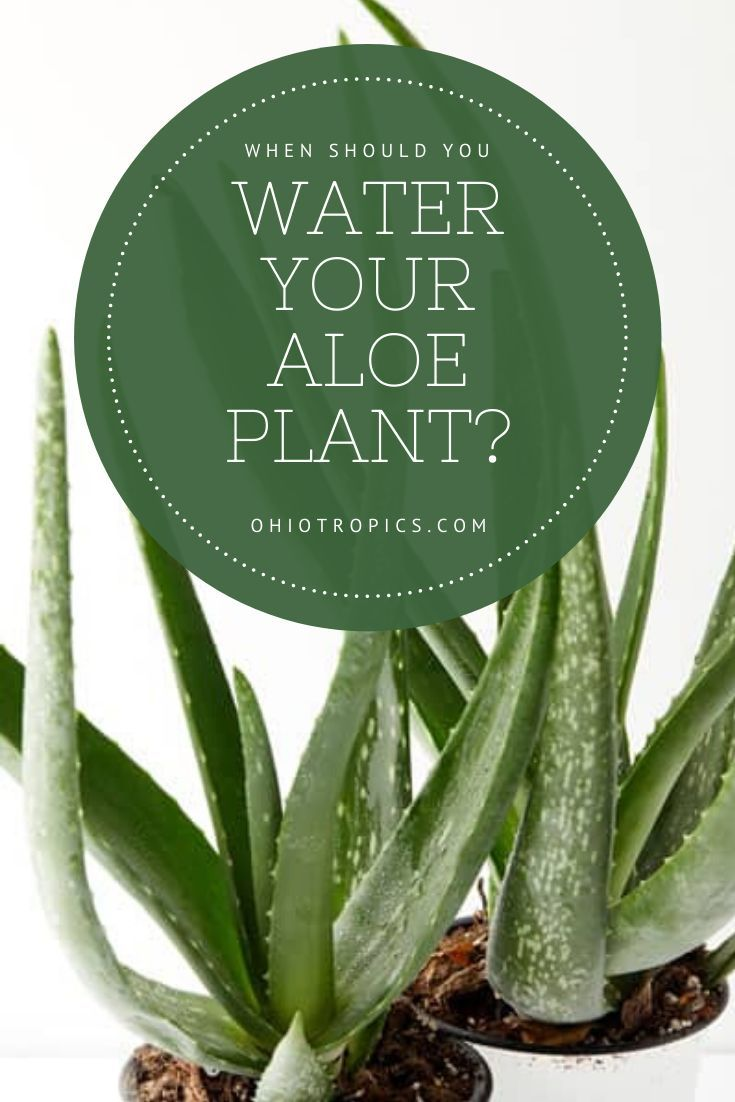 When Should I Water My Aloe Plant Read This Post Aloe Plant House Plant Care Aloe