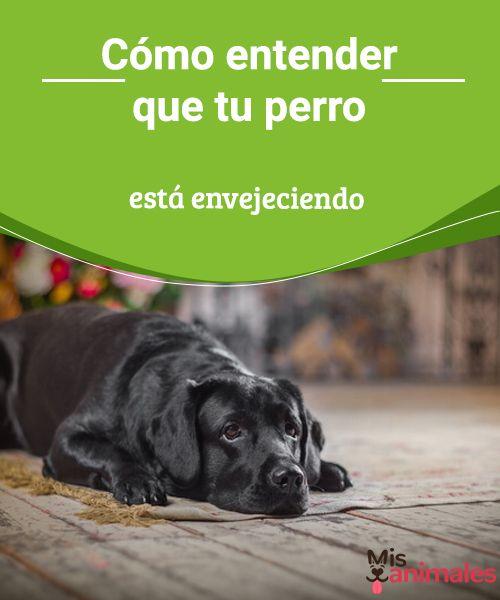 Cómo entender que tu perro está envejeciendo - Mis Animales  Los efectos del tiempo se hacen notar sobre personas y sobre animales. La vejez llega deprisa y hay muchas señales, entiende que el perro está envejeciendo. #perro #envejeciendo #consejos #señales