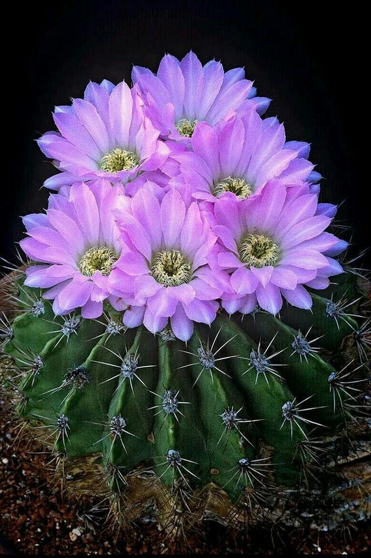 Flowers unique flowers beautiful flowers orchid cactus cactus flower - Email Neuza Maria S