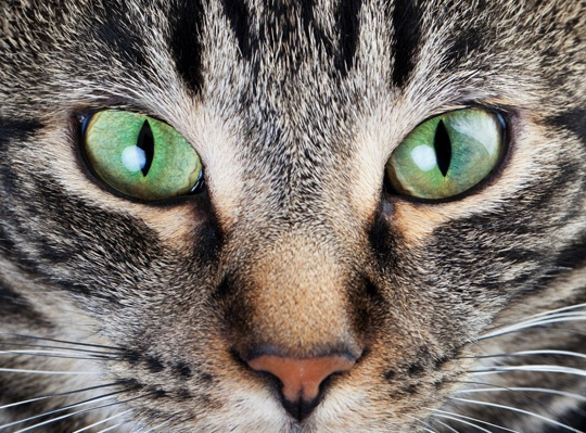 Beautiful cat photos: Cats Cats, Cat Art, Tabby Cat, Beautiful Cats, Cat Eyes, Beautiful Eyes