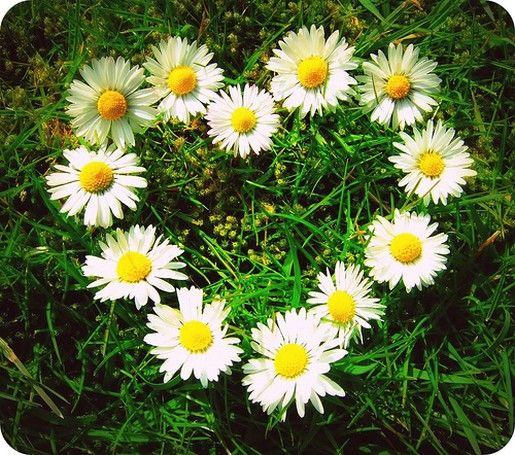 Google Image Result for http://www.flowerpicturegallery.com/d/1451-1/daisies%2Bin%2Bgroup%2Bwith%2Ba%2Bheart%2Bshape.jpg