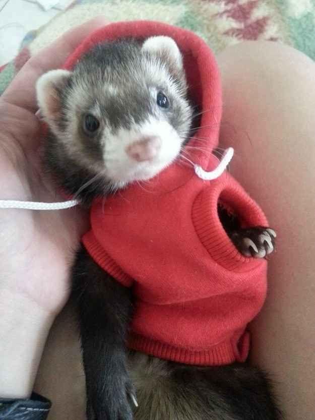 Lucen bien con la última moda.   19 razones por las que los hurones son las mascotas más adorables