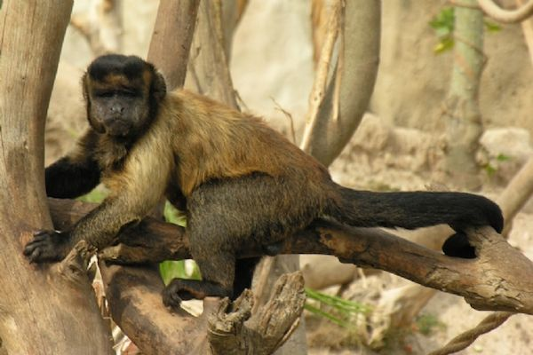 Operación de cataratas a un mono capuchino de Terra Natura