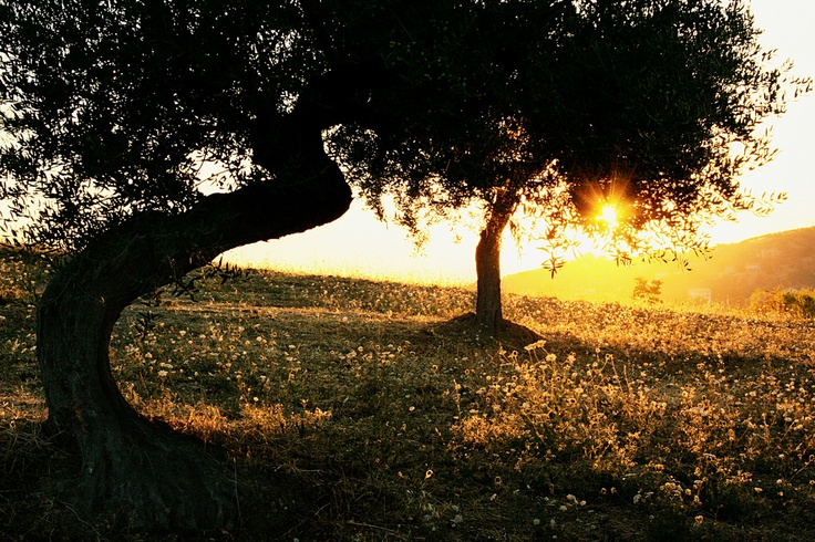 Good morning from the olive trees in Città Sant'Angelo!