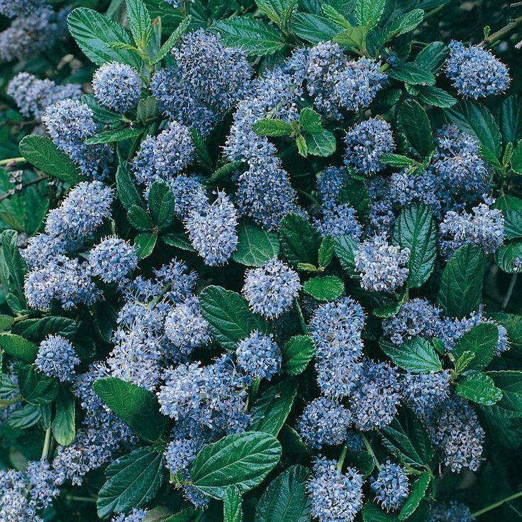 Vendita diretta Ceanothus Skylark, Arbusti a fioritura primaverile. Questo ceanothus è una varietà recente di arbusto molto rustico a vegetazione folta e rami arcuati. Fioritura blu da aprile a giugno. Fogliame persistente verde chiaro.