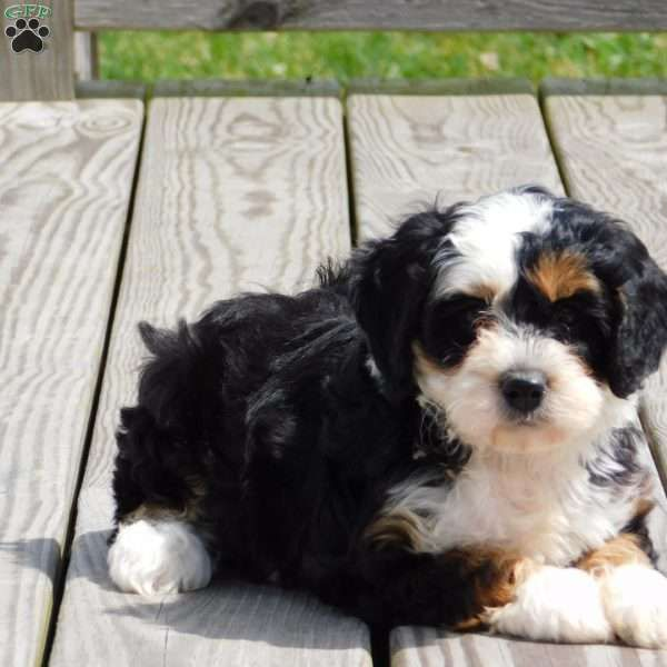 Toto Pomsky Puppy For Sale In Ohio Pomsky Puppies Pomsky Puppies For Sale Puppies