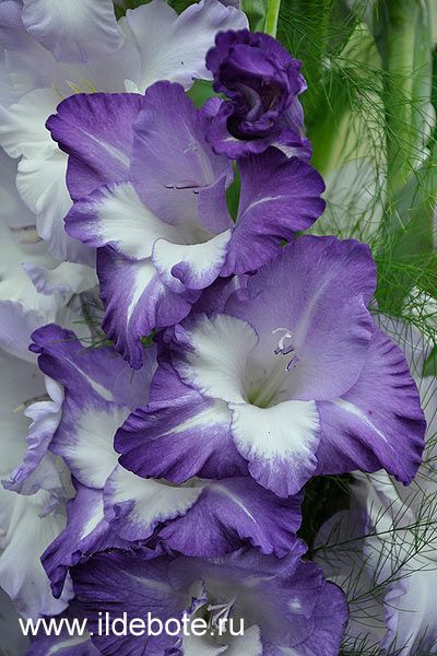 gladiolas | gladiolus Video gladiolus Evening Star gladiolus Green Giant gladiolus ...