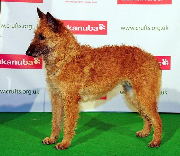 Belgian Laekenois Dog Breed Information and Pictures