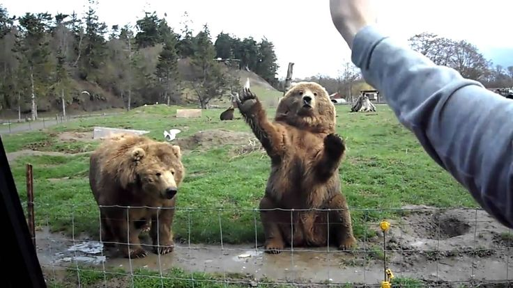 Waving Bears in Seattle game farm - the people are idiots, but the bears are awesome - jo