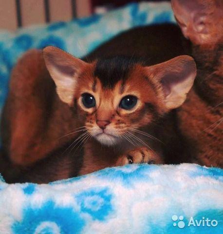 В питомнике родились очаровательные абиссинские котята. Гарантии здоровья и качества котят. Все родители чистокровные абиссинские кошки, имеют регистрацию CFA (abyssinian), никаких линий SH Somali. Малышня очень ласковая и контактная, полностью адаптиро...