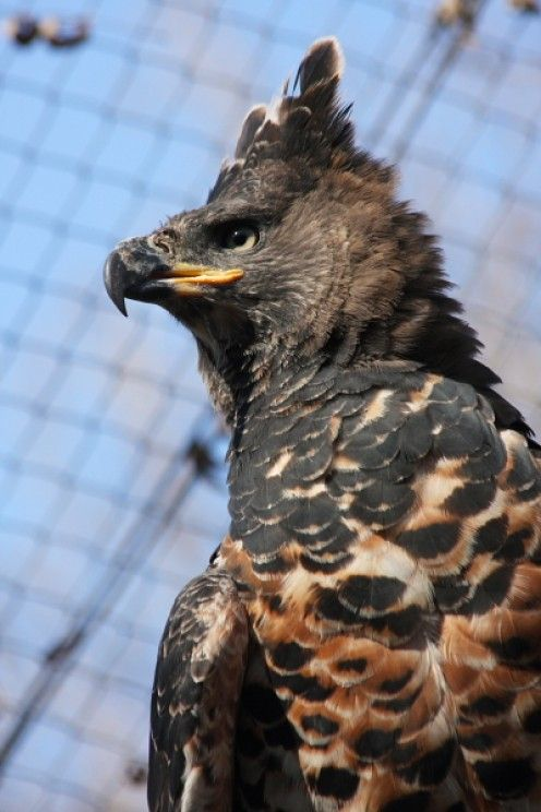 The African Crowned Eagle