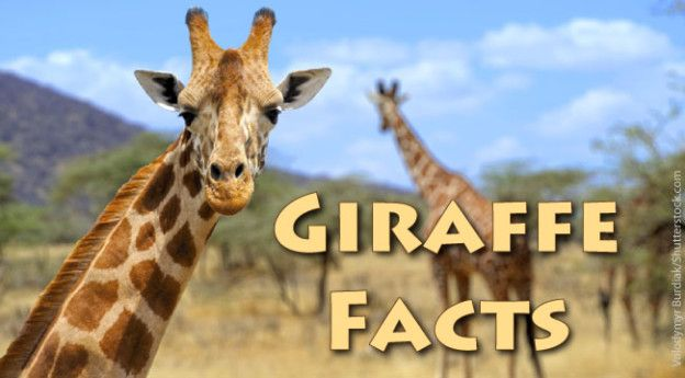 Giraffe Facts For Kids: Information & Pictures from Active Wild