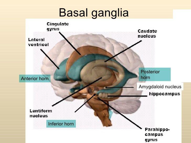 functions of basal ganglia Purchase handbook of basal ganglia structure and function, volume 24 - 2nd edition print book & e-book isbn 9780128022061, 9780128025260.