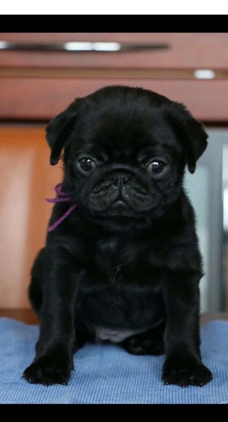 Want To Know More About Cheap Pugs For Sale Follow The Link For