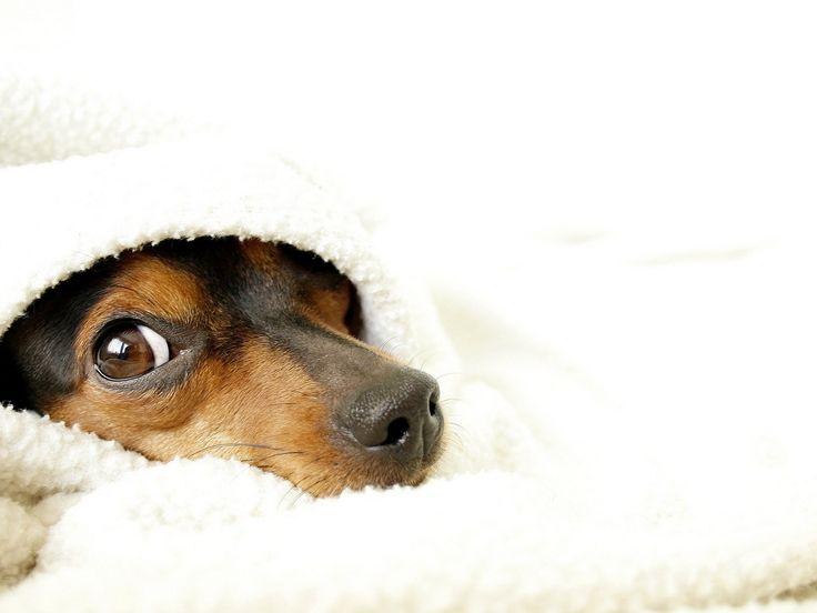 koiran kuvia, silmä taustakuvia, valkoinen vektori, kasvot taustat, huopa materiaali