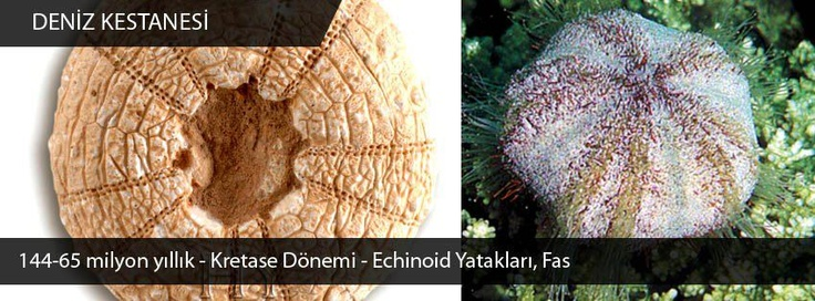Deniz kestanesi fosili, 144 milyon yıl, Echinoid yatakları, Fas